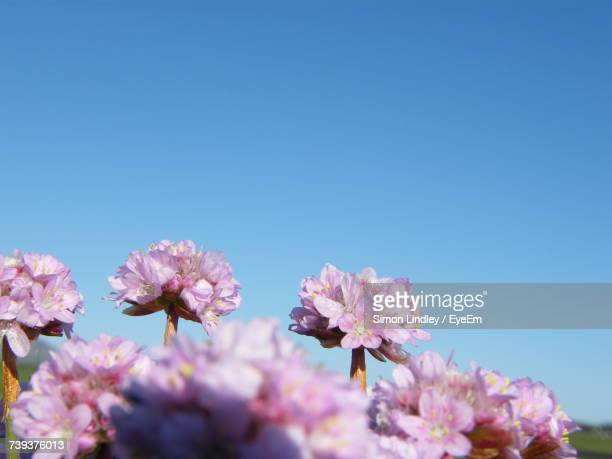 Low Angle View Of Pink Flowers Against Clear Sky