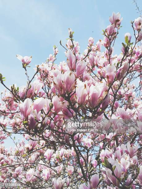 Low Angle View Of Pink Magnolia Blossoms Against Sky