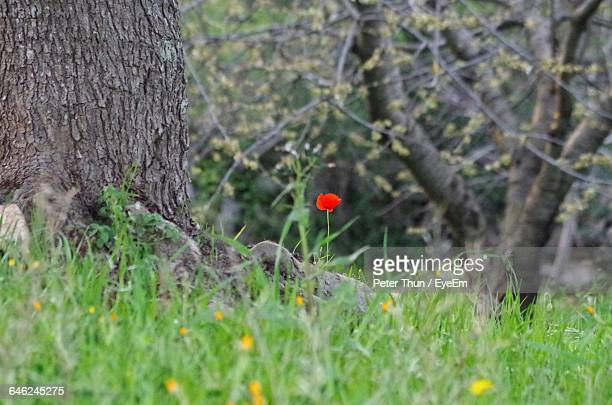 Low Angle View Of Poppy Flowers In Field