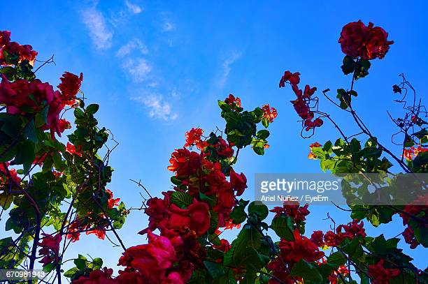 Low Angle View Of Red Flowers