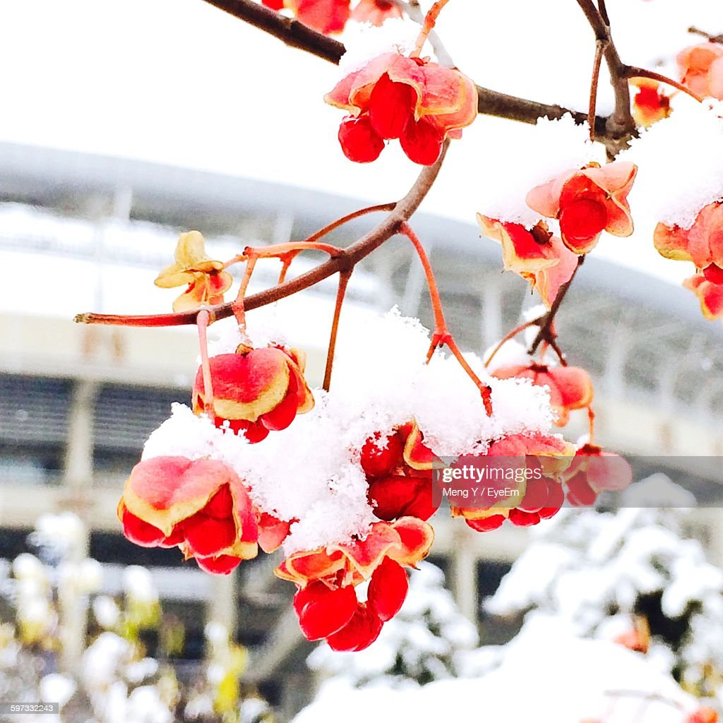 Low Angle View Of Red Flowers With Snow On Tree During Winter