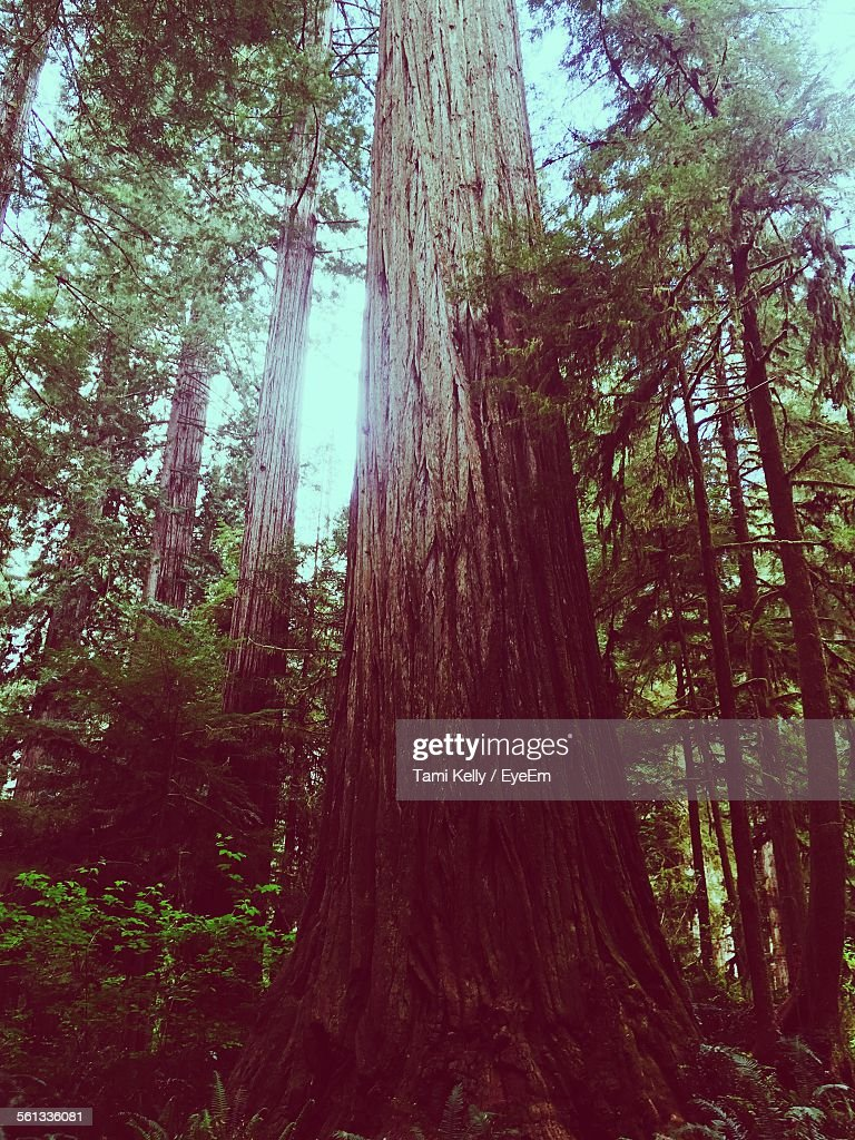 Low Angle View Of Redwood Trees In Forest