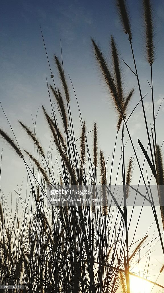 Low Angle View Of Reed Grass Against Sky : Stock-Foto
