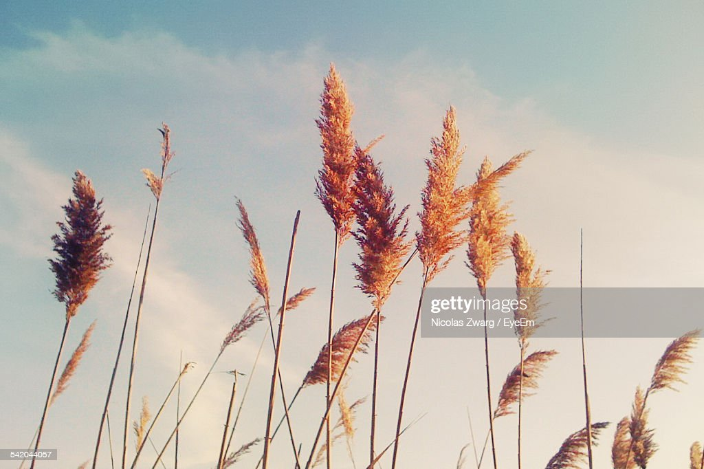 Low Angle View Of Reed Growing Against Sky