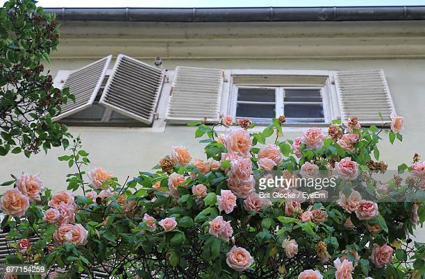 Low Angle View Of Roses Blooming Outside House