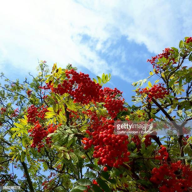 Low Angle View Of Rowanberries Growing On Tree Against Sky