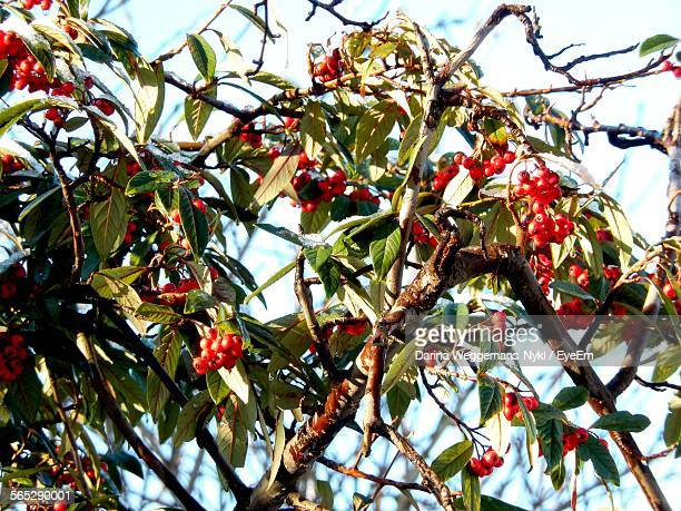 Low Angle View Of Rowanberries Growing On Tree