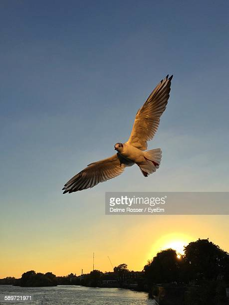 Low Angle View Of Seagull Flying Against Clear Sky At Sunset