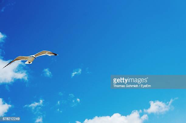 Low Angle View Of Seagull Flying With Spread Wings Against Blue Sky