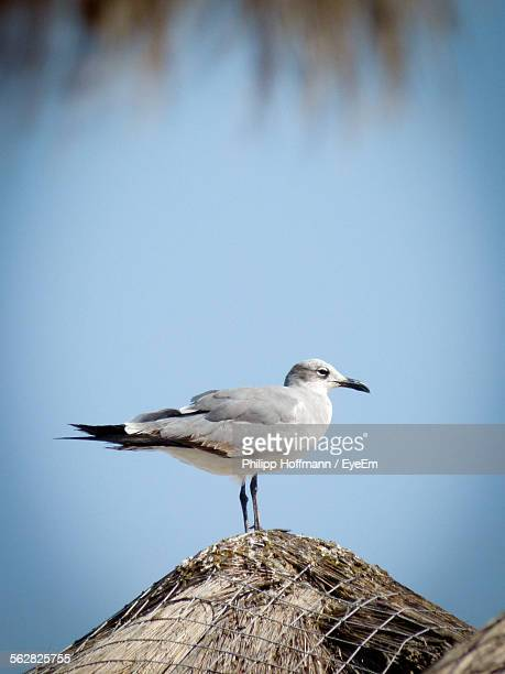 Low Angle View Of Seagull Perching On Thatched Roof Against Clear Sky