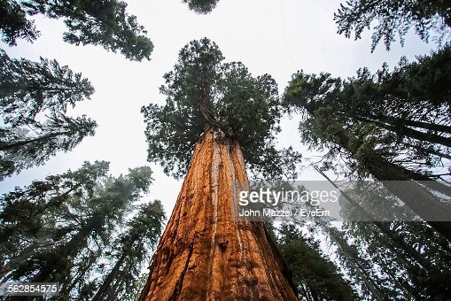 Low Angle View Of Sequoia Trees In Forest