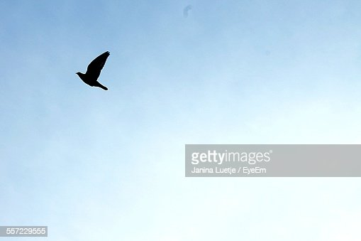 Low Angle View Of Silhouette Bird Flying Against Clear Sky