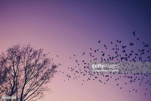 Low Angle View Of Silhouette Birds And Tree Against Clear Sky During Sunset