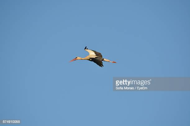 Low Angle View Of Stork Flying Against Clear Blue Sky