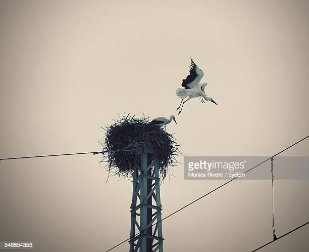 Low Angle View Of Stork Flying From Nest Against Clear Sky