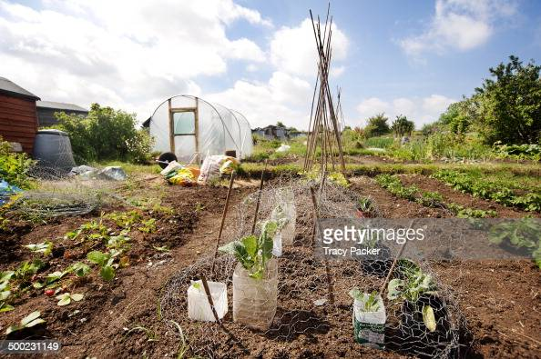 A low angle view of summer fruit vegetables some protected from rabbits mice by wire netting can be seen growing in this urban allotment in the city...