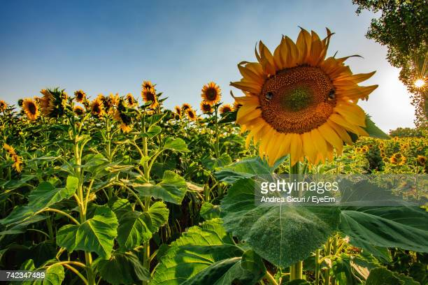 Low Angle View Of Sunflower Field Against Sky