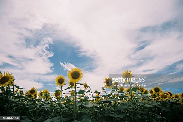 Low Angle View Of Sunflower Growing On Field Against Cloudy Sky