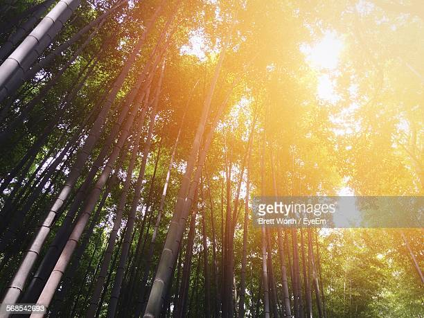 Low Angle View Of Sunlight Falling On Bamboo Trees In Forest