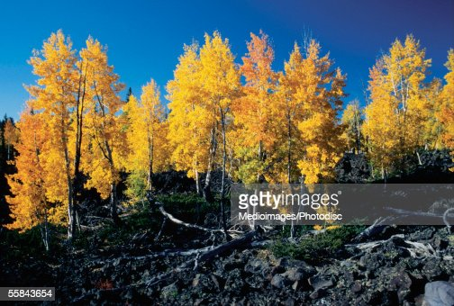 Low angle view of tall trees, Cedar Breaks National Monument, Utah, USA