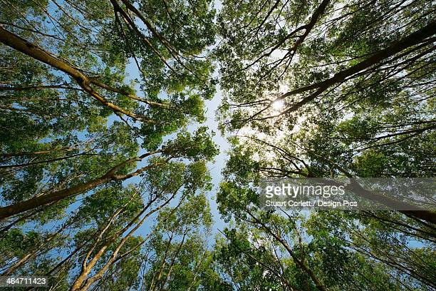 Low angle view of the tops of rubber trees and a blue sky