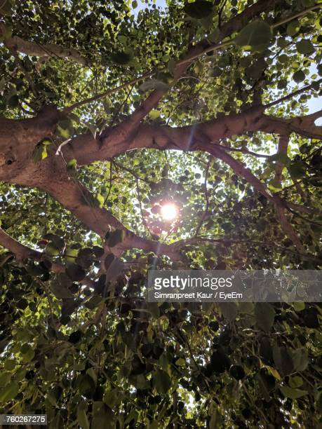 Low Angle View Of Tree Against Sun