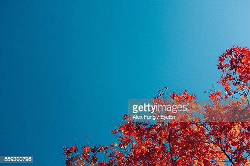 Low Angle View Of Tree In Autumn Against Clear Blue Sky