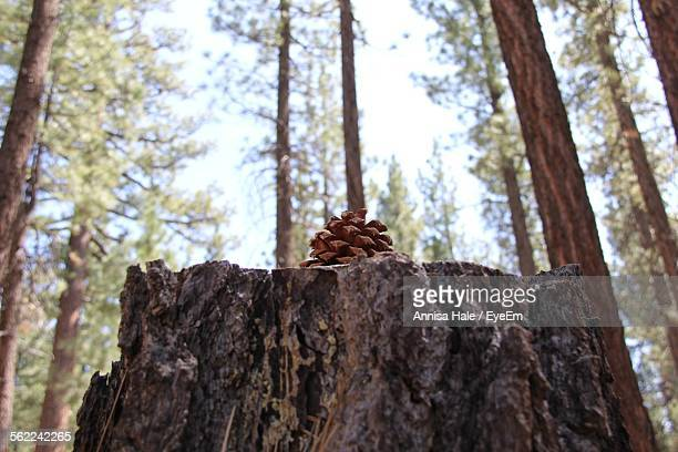 Low Angle View Of Tree Stump With Pine Cone In Forest