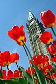 Low angle view of tulips and Ottawa's Peace Tower.