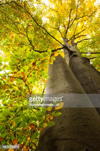 Low angle view of large trees : Stock Photo
