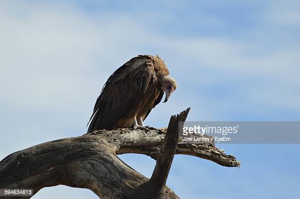Low Angle View Of Vulture Perching On Wood Against Sky