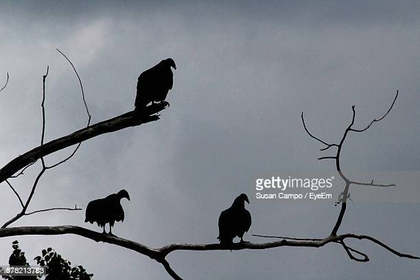 Low Angle View Of Vultures On Bare Tree Against Sky