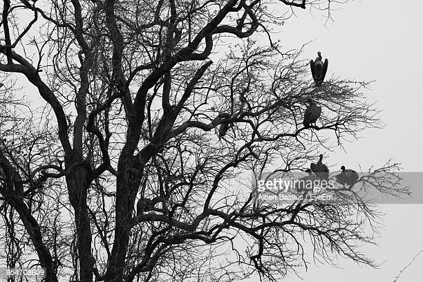 Low Angle View Of Vultures Perching On Bare Tree Against Sky