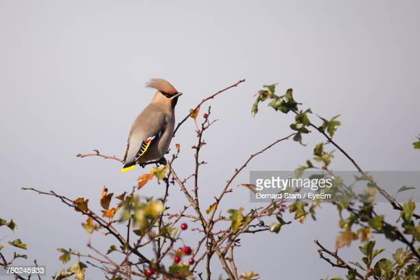 Low Angle View Of Waxwing Perching On Tree Against Clear Sky