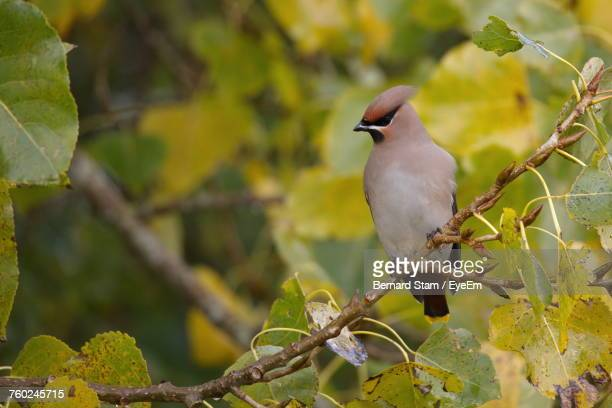 Low Angle View Of Waxwing Perching On Tree