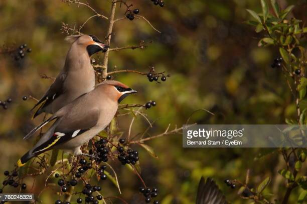 Low Angle View Of Waxwings Perching On Tree