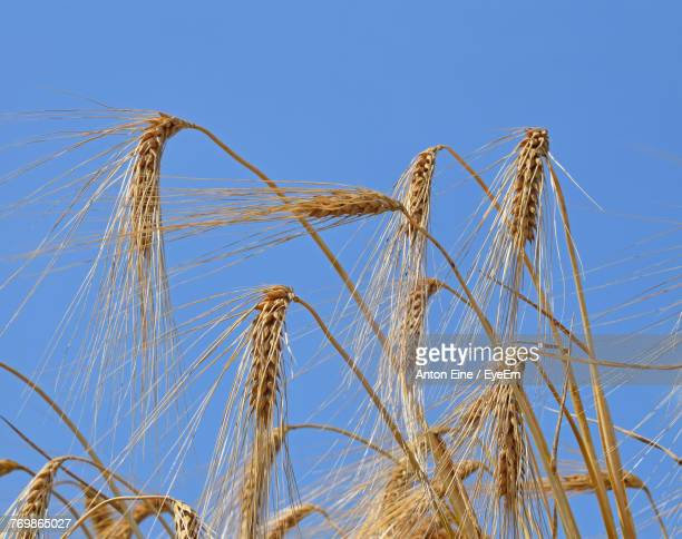 Low Angle View Of Wheat Against Clear Blue Sky