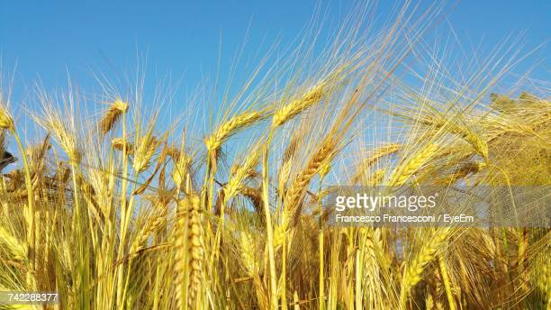 Low Angle View Of Wheat Field Against Clear Blue Sky