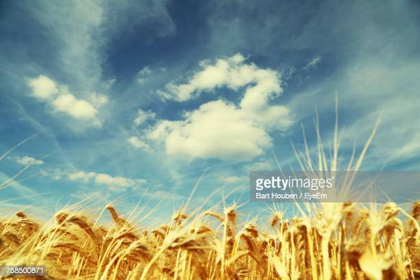 Low Angle View Of Wheat Field Against Sky