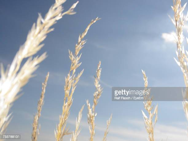 Low Angle View Of Wheat Growing Against Sky