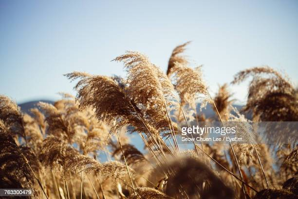 Low Angle View Of Wheat Growing On Field Against Clear Sky