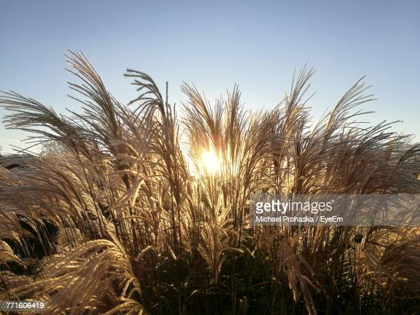 Low Angle View Of Wheat Growing On Field Against Sky