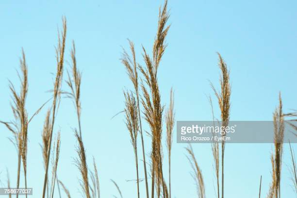 Low Angle View Of Wheat Plants Against Clear Blue Sky