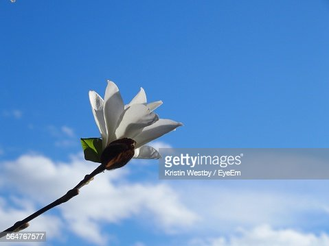 Low Angle View Of White Flower Against Blue Sky