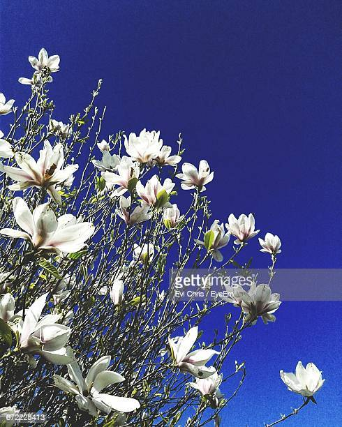 Low Angle View Of White Flowers Blooming Against Blue Sky