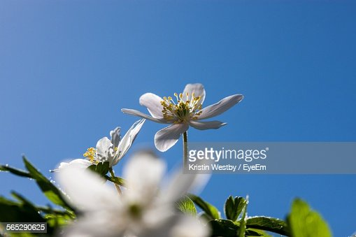 Low Angle View Of White Flowers Blooming On Tree Against Clear Sky