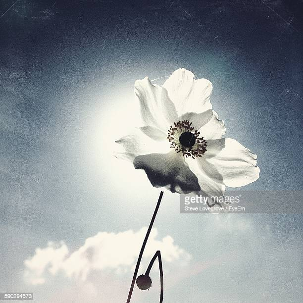 Low Angle View Of White Poppy Blooming Against Sky