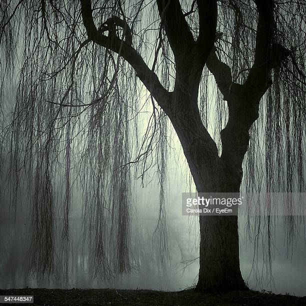 Low Angle View Of Willow Tree