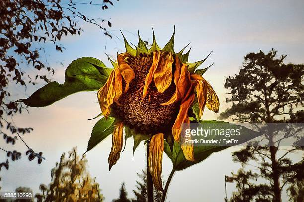 Low Angle View Of Wilted Sunflower Against Sky During Sunset