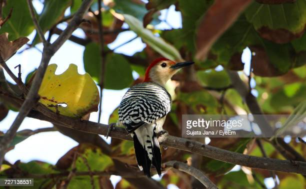 Low Angle View Of Woodpecker Perching On Branch